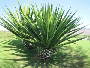 planta-do-sisal